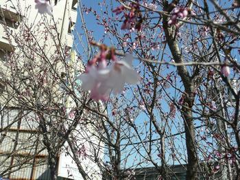 桜桜.jpg