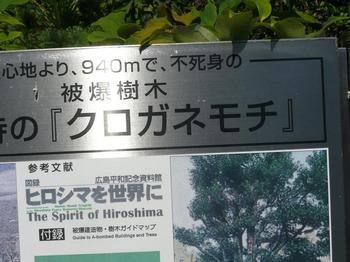 菩提寺のクロガネモチ.jpg
